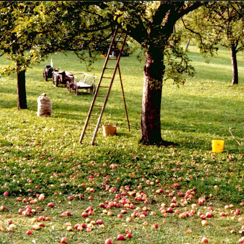 Apfelernte Tiefengruben
